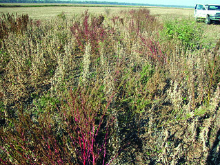 Picture of a soybean and pigweed test plot