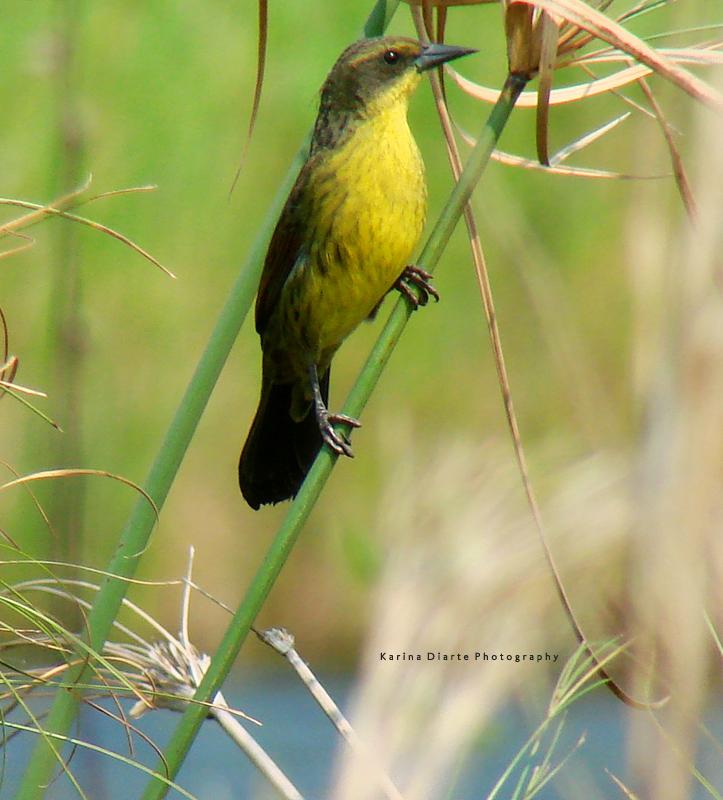 Varillero Negro / Unicolored Blackbird