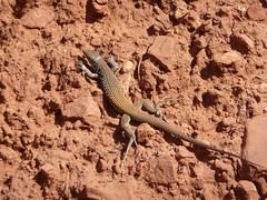 iguana(0.0), agama(1.0), animal(1.0), soil(1.0), reptile(1.0), lizard(1.0), fauna(1.0), lacertidae(1.0), scaled reptile(1.0), wildlife(1.0),