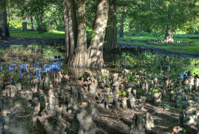 bald cypress tree and knees in sun 8 full bp