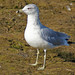Ringed billed Gull