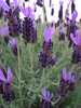 close-up of 'Otto Quast' Spanish Lavender
