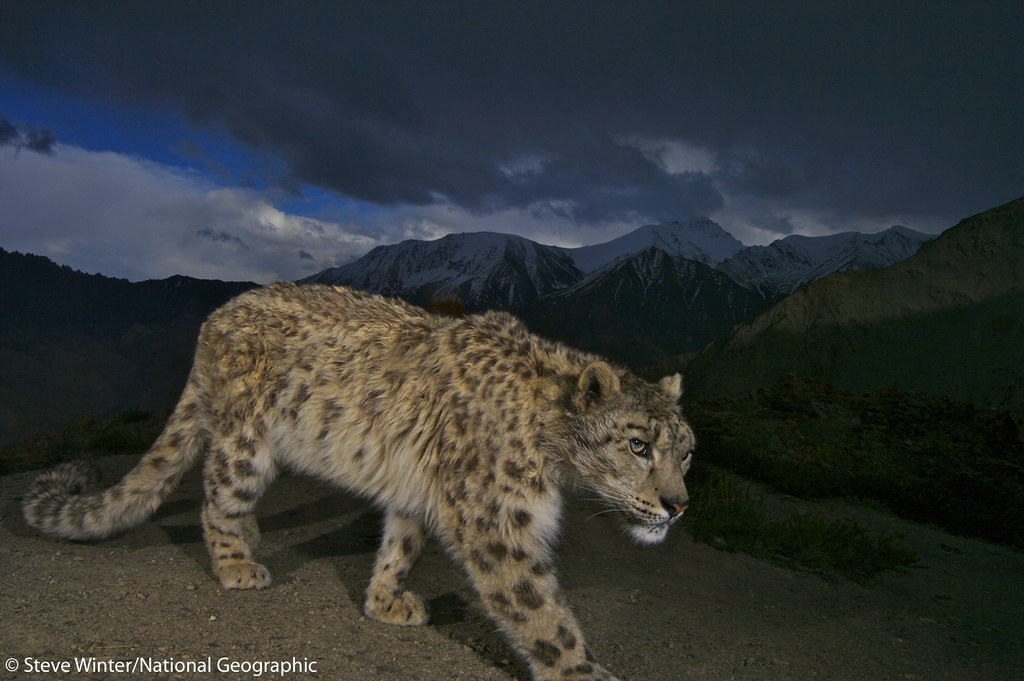 Snow leopard walking in the mountains - Ladakh, India