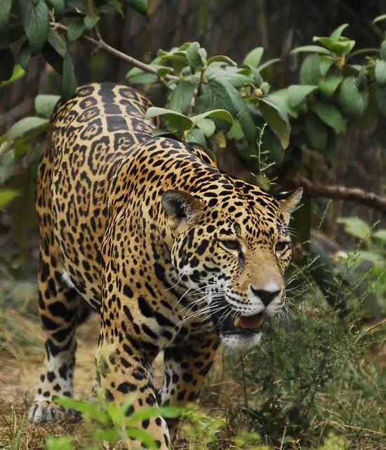 Female Jaguar: Flickr - Photo Sharing