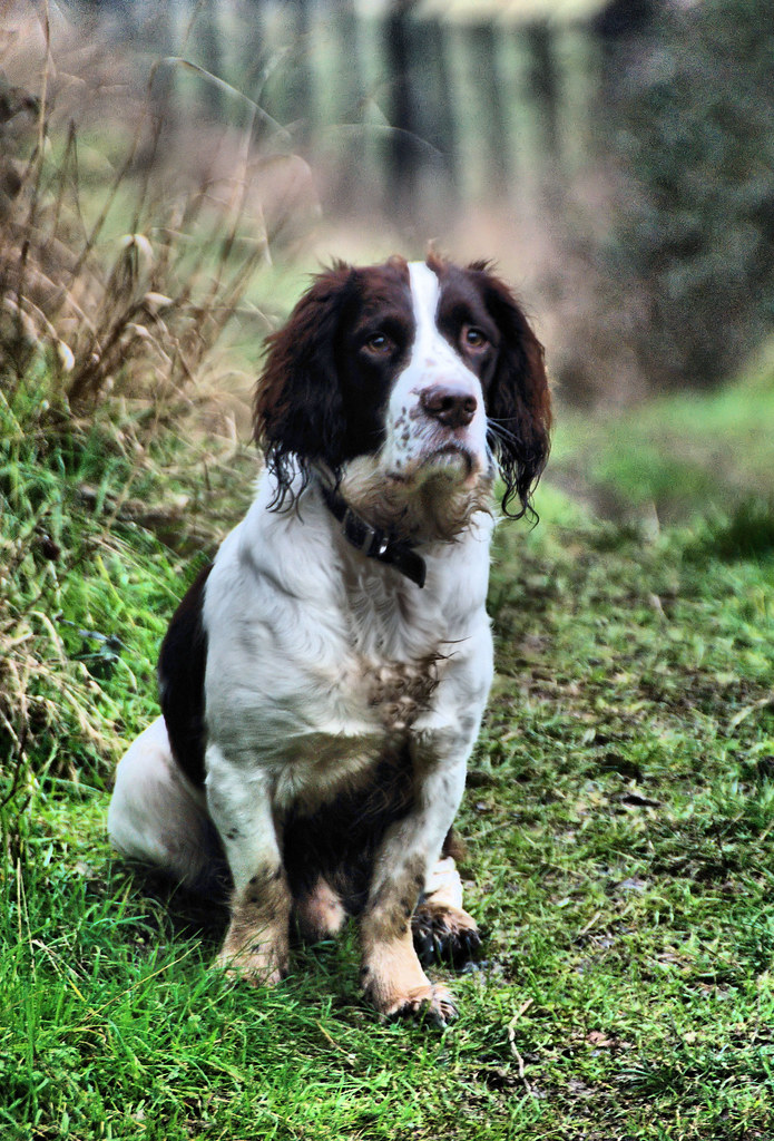 SPRINGER SPANIEL PUPPIES FOR SALE IN WISCONSIN  FOR SALE IN