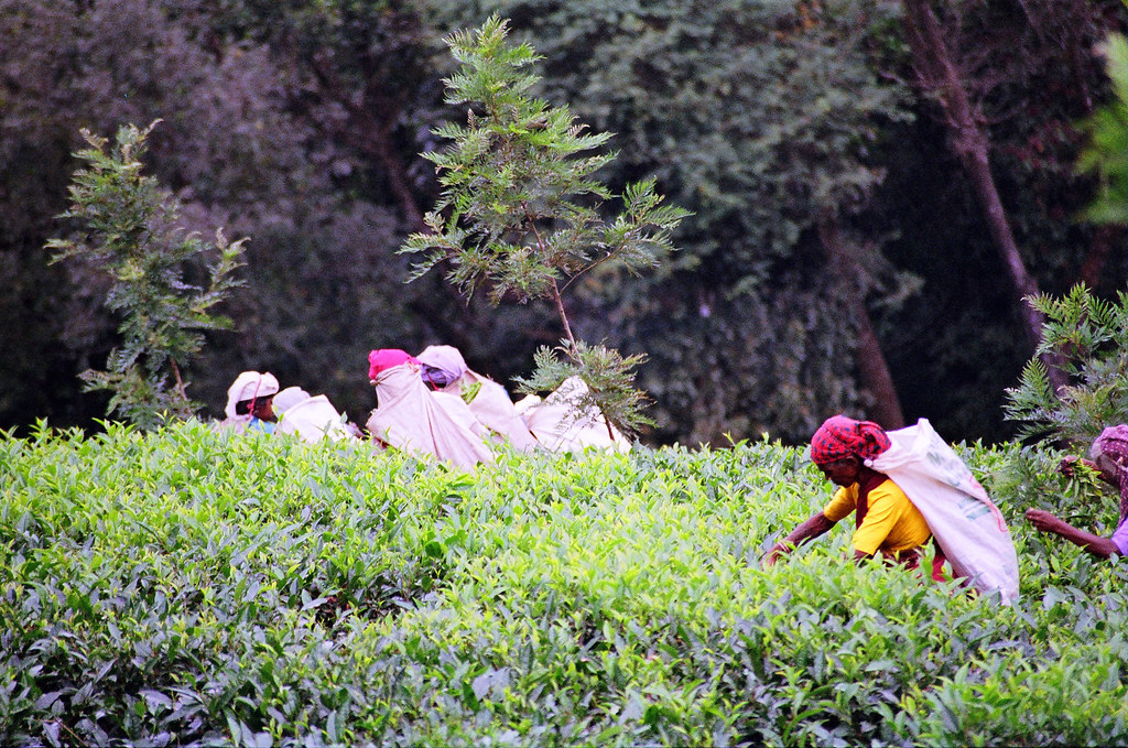 Tea Picking In Sri Lanka