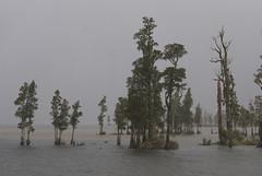 kahikatea swamp forest