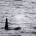 Orca Blow by Taraji Blue
