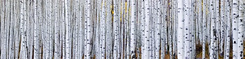aspen trees, fall, Aspen Colorado