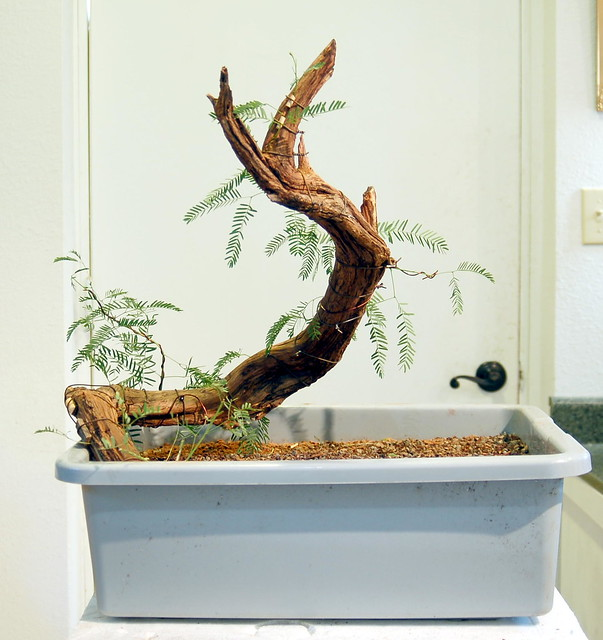 any one else doing any Mesquite Bonsai out there?  5041688151_d77c1cf2e1_z