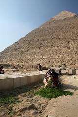 Camel near Giza pyramids