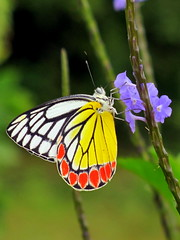 arthropod, pollinator, animal, moths and butterflies, butterfly, flower, invertebrate, macro photography, fauna, pieridae,