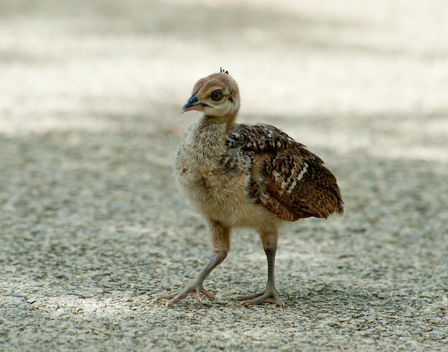 Peacock Chick (D7A8377)   Flickr - Photo Sharing!