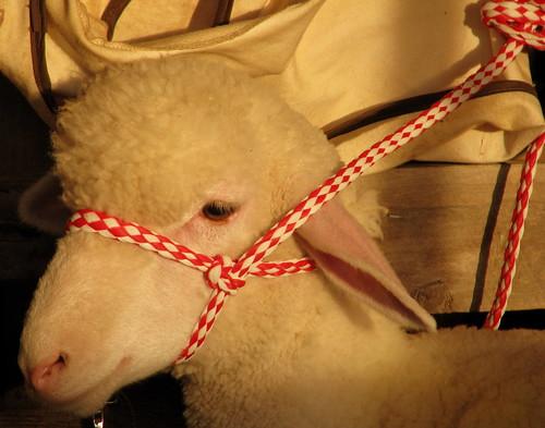 tn sheep tennessee fair countyfair fayetteville lincolncountyfair lincolncounty sheepbarn bmok bmok2 2010lincolncofair 2010lincolncountyfair bmok9used