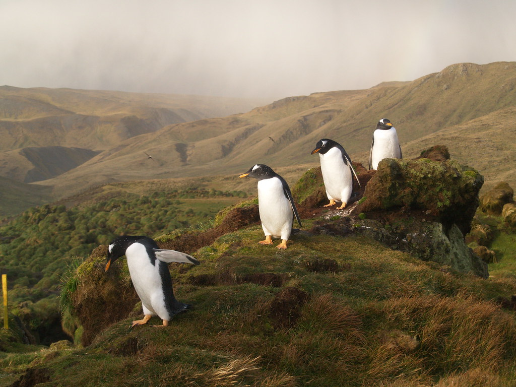 Gentoo penguins west coast