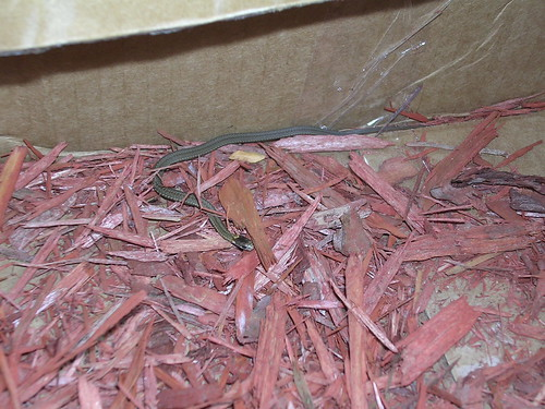 [red-bellied snake]