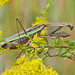 Chinese Mantis - Photo (c) Larry Meade, some rights reserved (CC BY-NC-SA)