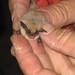 California Myotis - Photo (c) MaryEllen and Paul, some rights reserved (CC BY-NC)
