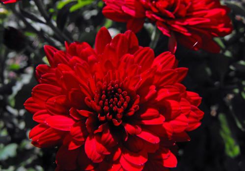 flower macro october chrysanthemum harrisburg riversidepark 2010 susquehannariver diabetes awesomeblossoms fujifilmfinepixs1000fd centralpennsylvaniaamericandiabetesassociation walktostopdiabetes