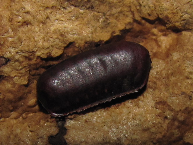 Cockroach Eggs http://www.flickr.com/photos/29287337@N02/5083338021/
