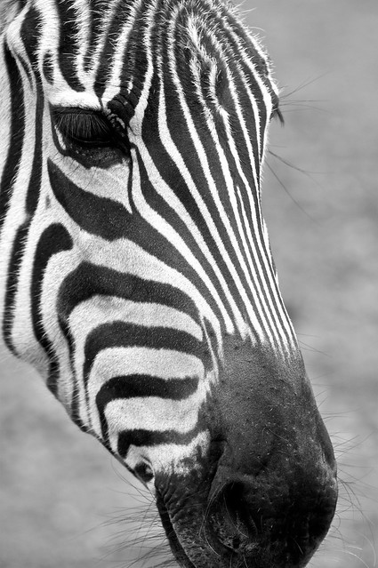 Zebra Faces http://www.flickr.com/photos/insidiatorphotos/5116818164/