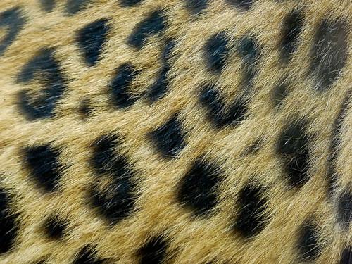 fur zoo texas tyler leopard caldwell caldwellzoo
