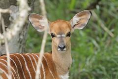 A baby Nyala