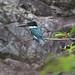 Small photo of Amazon Kingfisher (Chloroceryle amazona,)