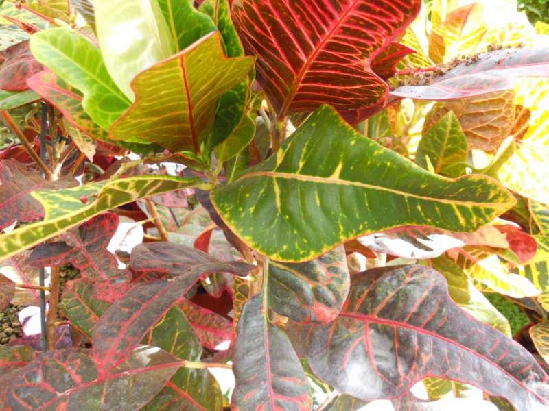 Codiaeum variegatum 'Excellent' 2