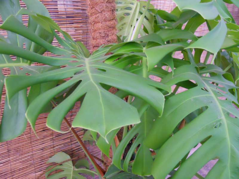 Philodendron pertusum 4