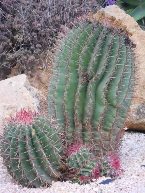 Ferocactus stainesii 'Pilosus' v 1