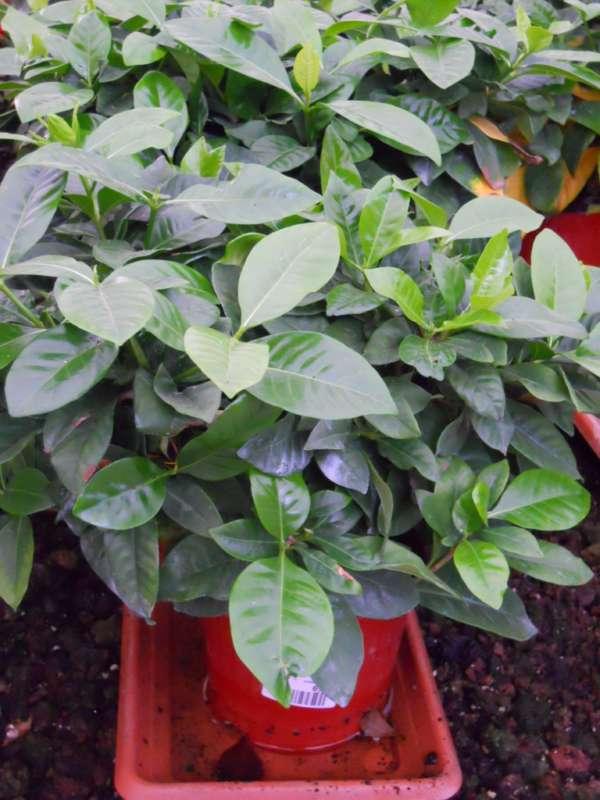 Gardenia augusta v 4