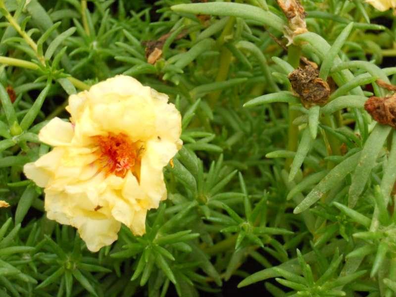 Portulaca grandiflora 1