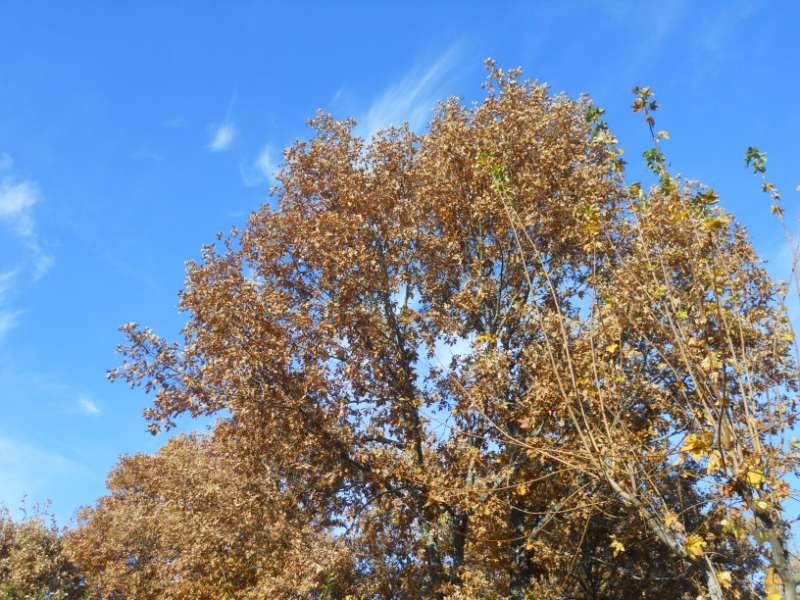 Quercus pyrenaica 4