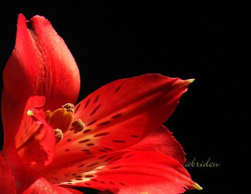 flowers macro canon alstroemeria magicofnature kartpostal abrideu mygearandmepremium