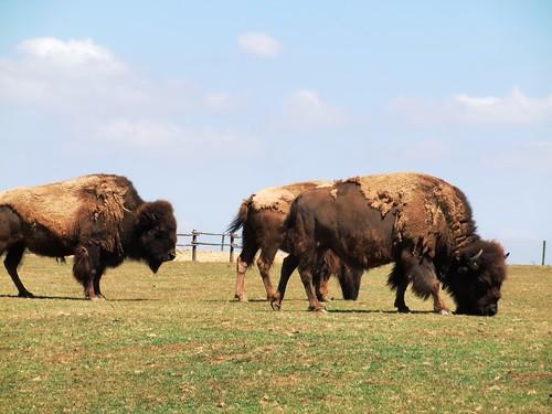 Bisons dans la plaine