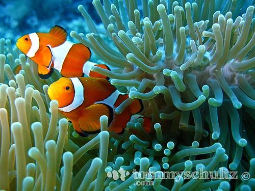 Percula clown fish care sheet clubfauna for Clown fish care
