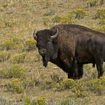 Bison in the Wildflowers