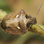 fémes feketefejű poloska - Eysarcoris aeneus
