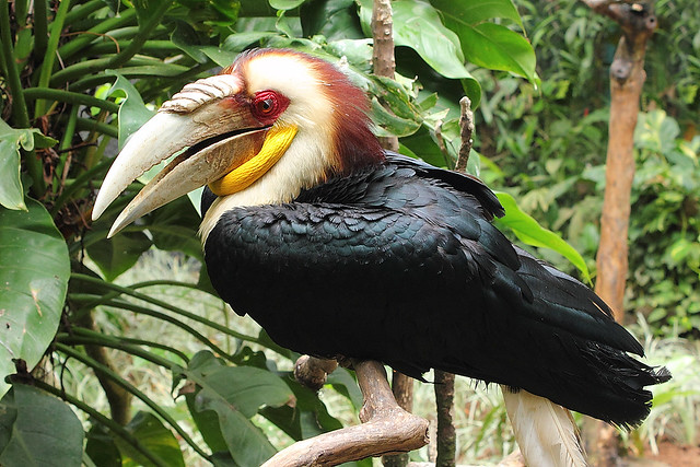 Wreathed Hornbill Flickriver: Mos...