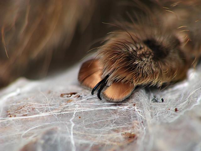 Heteroscodra maculata tarsal claw