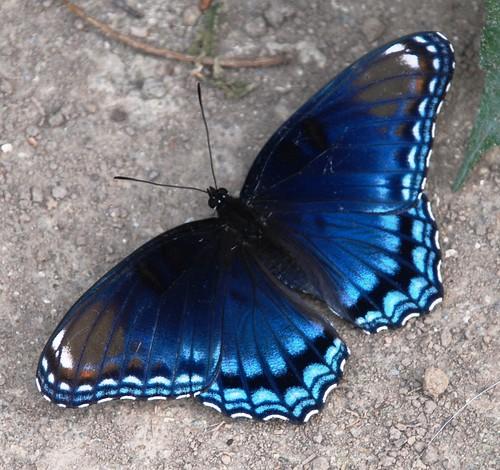 blue nature butterfly insect ngc mygarden wow1 redspottedpurple inthewild mywinners bestofmywinners dblringexcellence aboveandbeyondlevel1 flickrstruereflection1 jennypansing