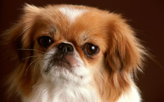 dog breed, animal, dog, pet, king charles spaniel, japanese chin, tibetan spaniel, phalã¨ne, chinese imperial dog, close-up, pekingese, carnivoran,