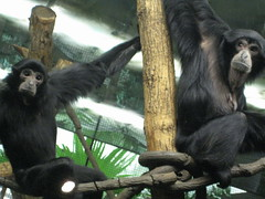 western gorilla(0.0), great ape(0.0), gorilla(0.0), spider monkey(0.0), chimpanzee(1.0), animal(1.0), monkey(1.0), zoo(1.0), mammal(1.0), fauna(1.0), common chimpanzee(1.0), new world monkey(1.0), ape(1.0),