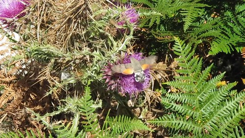 Hummingbird Hawk Moth ... awesome!