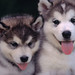 Small photo of Alaskan Malamute Pup