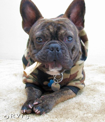 Orvis Cover Dog Contest - Oscar