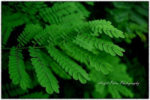 #140 The Krishnachura Leaves - কৃষ্ণচূড়া  পাতা