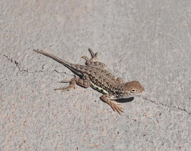 Common Lesser Earless Lizard, Holbrookia maculata | Flickr ...