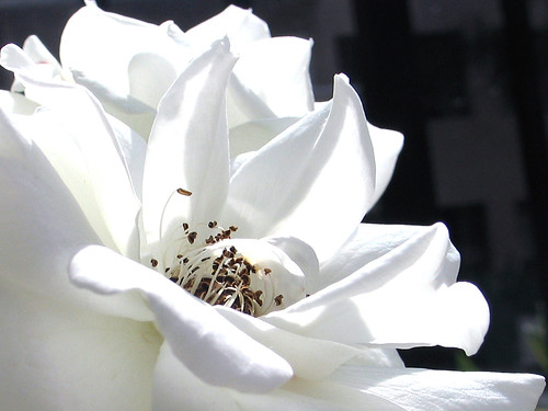 Glowing white rose